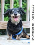 Stock photo reuben dachshund mix rescue dog smiling happy getting ready for a walk 739616119