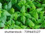 detail on nettle. urtica dioica.... | Shutterstock . vector #739665127