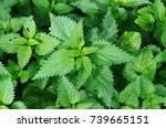 A Bunch Of Common Nettles In...