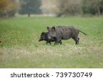 a wild boar female with her... | Shutterstock . vector #739730749