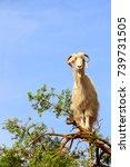 famous moroccan scene   goat on ... | Shutterstock . vector #739731505