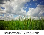 Small photo of outgrow rice plant with cloud
