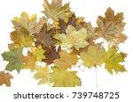 Bunch Of Fallen Canadian Maple...