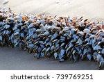 goose barnacles also called... | Shutterstock . vector #739769251