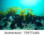 laminaria sea kale underwater... | Shutterstock . vector #739771681
