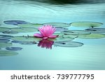 A Pink Water Lily  Lilies...