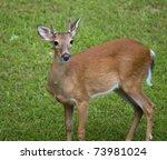 Young Whitetail Deer Male With...