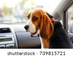 young beagle look back askance  ... | Shutterstock . vector #739815721