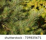 Small photo of Fir tree/Fir tree close up/Fir tree twigs