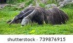 giant anteater. latin name  ... | Shutterstock . vector #739876915
