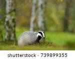 european badger  autumn larch... | Shutterstock . vector #739899355