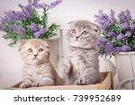 portrait of two scottish...   Shutterstock . vector #739952689