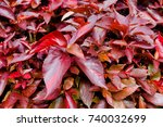 Small photo of Acalypha wilkesiana leaf, Background with red leafed shrub (Acalypha wilkesiana) in Thailand