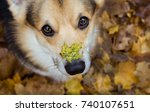 autumn on the nose. dog breed... | Shutterstock . vector #740107651