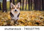 dog breed welsh corgi pembroke... | Shutterstock . vector #740107795