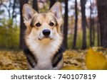 dog breed welsh corgi pembroke... | Shutterstock . vector #740107819