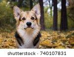dog breed welsh corgi pembroke... | Shutterstock . vector #740107831