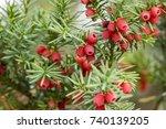 taxus baccata european yew is... | Shutterstock . vector #740139205