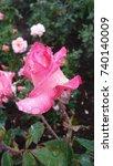 morning dew on pink rose | Shutterstock . vector #740140009