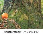 Pumpkin And Oak Tree. Pumpkin...