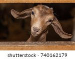 Funny Face Small Goat  Brown...