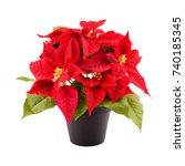 Christmas Flower Poinsettia In...
