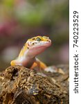 leopard gecko lizard on wood | Shutterstock . vector #740223529