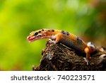 leopard gecko lizard  sticking... | Shutterstock . vector #740223571