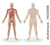 Illustration Of Human Anatomy...
