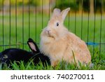 Stock photo mix lionhead rabbit with black color rabbit at green background 740270011