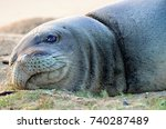 a monk seal lays on a sandy... | Shutterstock . vector #740287489