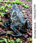 Small photo of dead toad