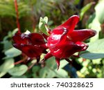 Small photo of Roselle fruit / Roselle is a species of Hibiscus probably native to West Africa, used for the production of bast fiber and as an infusion