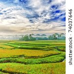 Panorama Of The Paddy Rice...