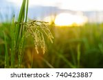 yellow ricewith leaves  in farm ... | Shutterstock . vector #740423887