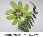 Closeup Of Seedpods On The...