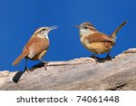 Pair Of Carolina Wrens ...