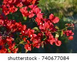 Red Bougainvillea Flowers In...