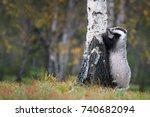 european badger  meles meles ...   Shutterstock . vector #740682094