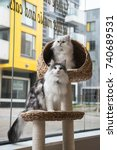 A Norweigan Forest Cat And A...