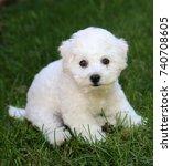 Small photo of Bichon Frise Puppy. 9 week old bichon puppy. Bichon puppy in grass.