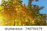 Yellow Walnut In October