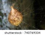A Garden Spider Egg Sack