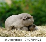 Guinea Pig Mom  Slate  With...
