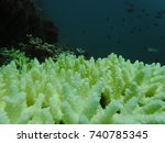 Small photo of Acropora formosa