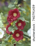 Small photo of Several red blooms on a single hollyhock plant, Alcea rosea. The separate buds are in various stages of blooming, from closed buds to those in full bloom, along with some seedheads, as well.