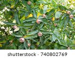 Small photo of Healthy Medlars in fruit tree Mespilus germanica, Crataegus germanica, medlar, Mispel