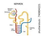 structure of a nephron.... | Shutterstock .eps vector #740804221