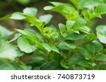 seedling potatoes. macro image. | Shutterstock . vector #740873719