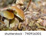 Edible Boletus Mushroom ...